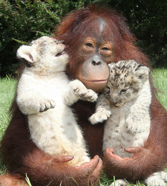 orangutan with leopard kittens